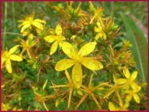 Зверобой цветы